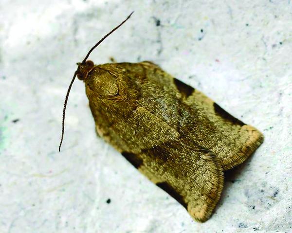 Spruce Budworm Moth