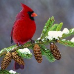 Cardinals are welcomed sights for backyard birders
