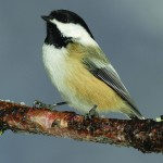 Black-capped chickadees float from flock to flock.