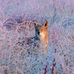 Coyotes are on the move this month, thinking about breeding and foraging as days warm.