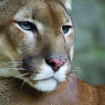 Live mountain lion photo.