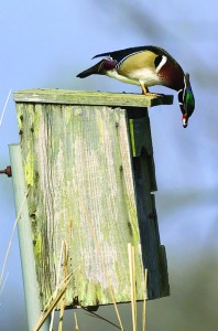 Male wood duck sits on a nesting box