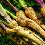 Parsnips please many Maine palates, particularly with the two recipes here.