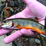 Pleasant River in Windham produces brookies.