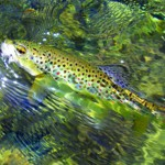 St. George River below Sennebec Lake produces brown trout.