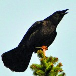 To identify crows in comparison to ravens, please check out accompanying the text.