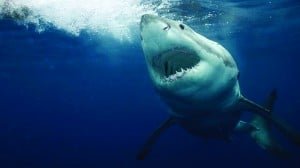 Will great white sharks expand in numbers from Cape Cod?