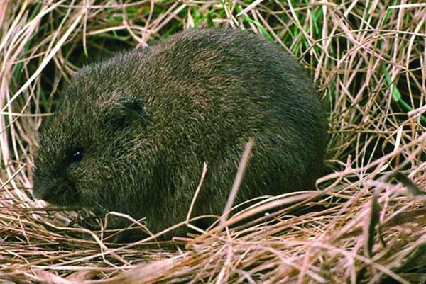 Common meadow voles are Maine's most abundant mammal