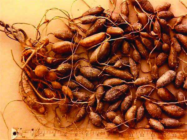 When settlers first arrived in New England, groundnuts ( tuber) became a staple as this vegetable had been with Native Americans.