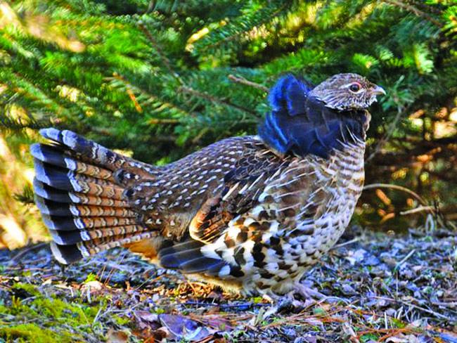 Ruffed grouse. Photo courtesy of Carolina Bird Club