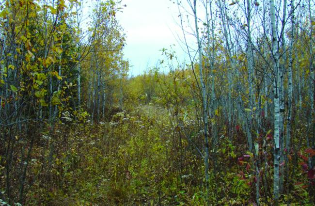 Goldenrods under poplars or alders: perfect habitat for woodcock