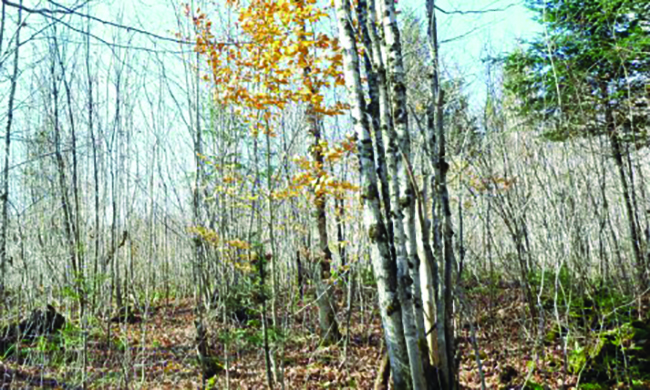 Clear-cut covers for upland birds in northern Maine