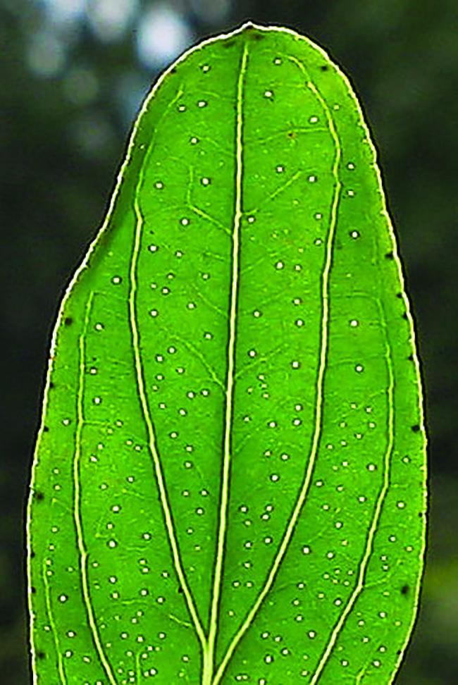 St. Johns-wort  (Hypericum perforatum) leaves have translucent spots