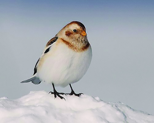 Deer hunters see lots of snow buntings like this one in clear-cuts in some Novembers