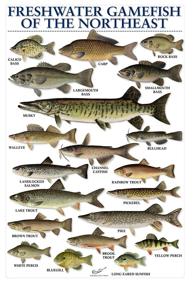 Freshwater fish chart for Florida freshwater fish species