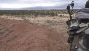 Bowhunter Rescues a Mule Deer from two Coyotes