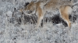mountain lion vs coyote